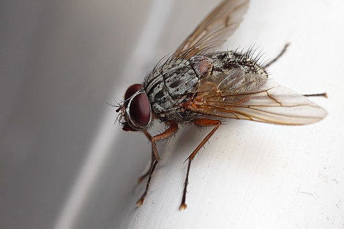 Largish fly on sunchair