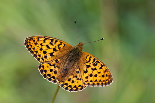 DARK GREEN FRITILLARY MALE 2012