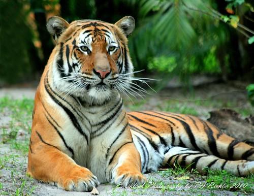 TIGER ALERT- MALAYAN TIGER -  PALM BEACH ZOO