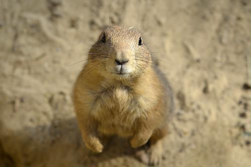 無料写真素材, 動物 , 哺乳類, プレーリードッグ, 動物  立つ・立ち上がる