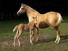 Golden GIrl - Mare w/foal