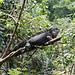 Iguana por rwoan