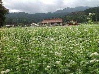 蕎麦の花  順調です。