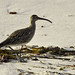 Whimbrel (Colin Brown)