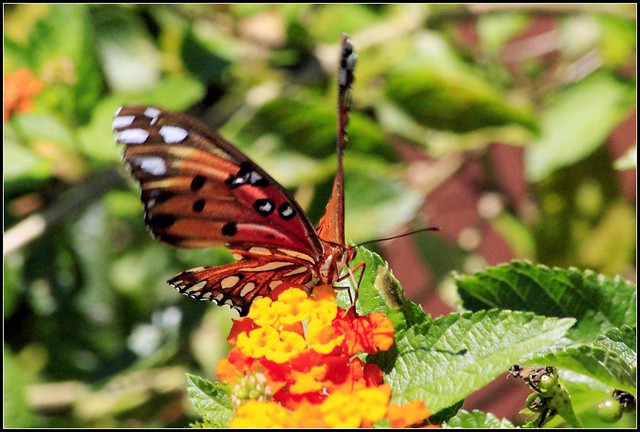 BUTTERFLIES OF FLORIDA   Flickr - Photo Sharing!