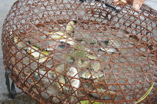 Average 'bobo' fish trap catch for a day
