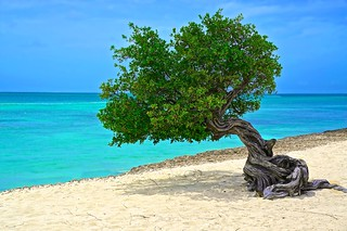 Tree of Aruba
