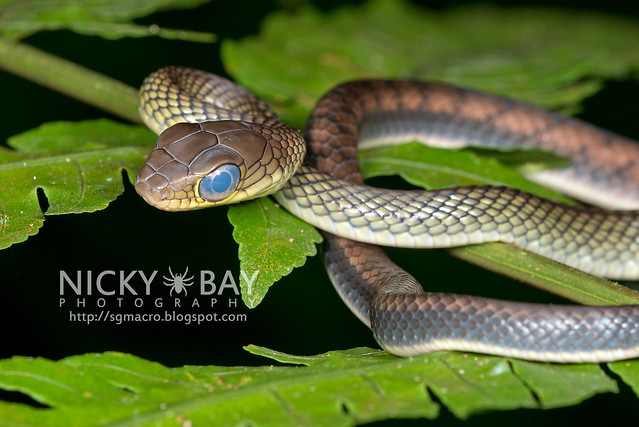 White bellied rat snake (Ptyas fusca) - DSC_2218