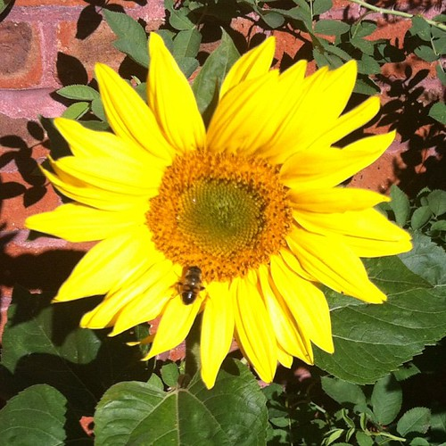 Our sunflower planted by the birds