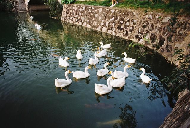 西湖里的鸭子 @华南农业大学