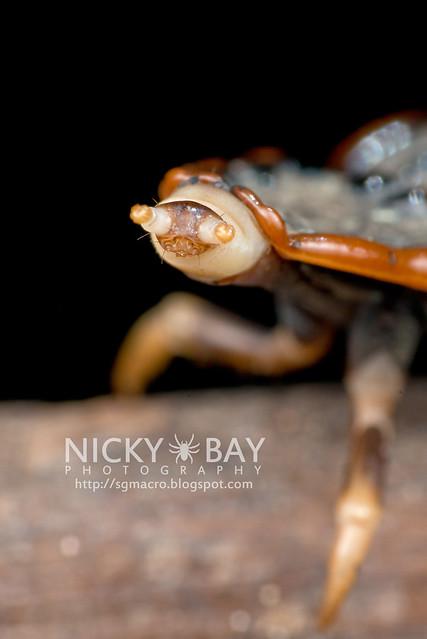 Trilobite Beetle (Platerodrilus sp.) - DSC_1957