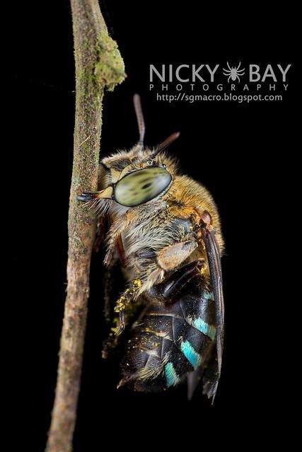 Sweat Bee (Amegilla sp.?) - DSC_1603
