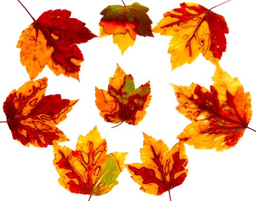 Fall Leaves:Mods Podge: Food Coloring