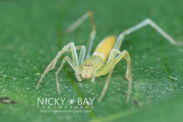 Sac Spider (Clubionidae) - DSC_1332