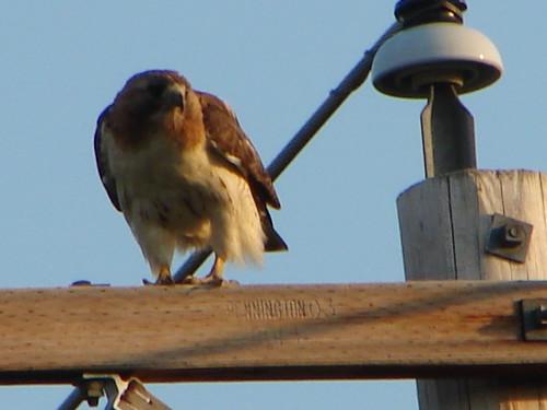 Red Tailed Hawk Hwy 47 between Keshena and Shawano WI  7 1 2012 046