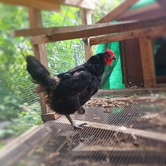 Our new hen
