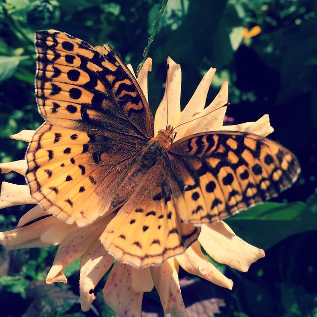 Great Spangled Fritillary #zinnia #zinnias #patiogarden #gardens #butterfly #butterflies #greatspangledfritillary #fritillary