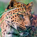 Small photo of Portrait of a leopard in the grass