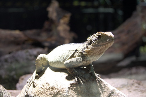 Baby tuatara (born April 2011) at Rainbow Springs