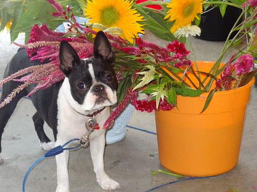 Charlie and Flowers August 2012 (4)