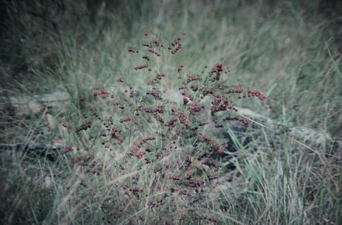 Boronia megastigma (Scented Boronia)