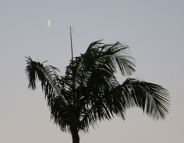 Vertical Contrail above a palm tree