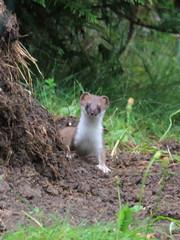 animal(1.0), weasel(1.0), mustelidae(1.0), mammal(1.0), fauna(1.0), marten(1.0), polecat(1.0), mink(1.0), wildlife(1.0),