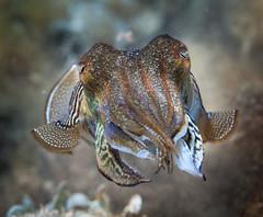 seafood(0.0), food(0.0), animal(1.0), organism(1.0), marine biology(1.0), invertebrate(1.0), macro photography(1.0), fauna(1.0), close-up(1.0), cuttlefish(1.0), wildlife(1.0),