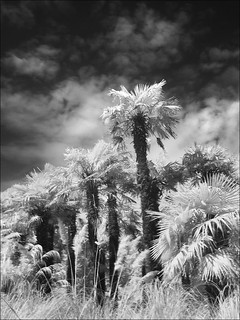 Palm trees - digital infrared