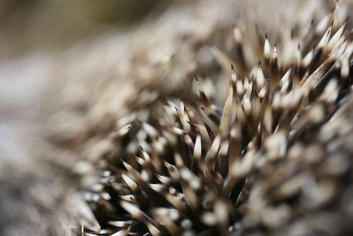 Hedgehog Spines