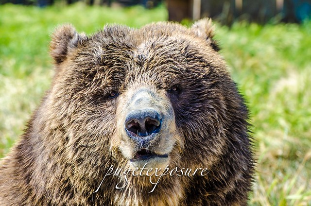 Kodiak Bear Olympic Game Farm, Sequim Washington