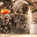 Fishing Cat Kittens Explore Their Yard at the Smithsonian's National Zoo by Smithsonian's National Zoo