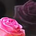 Roses_玫瑰花