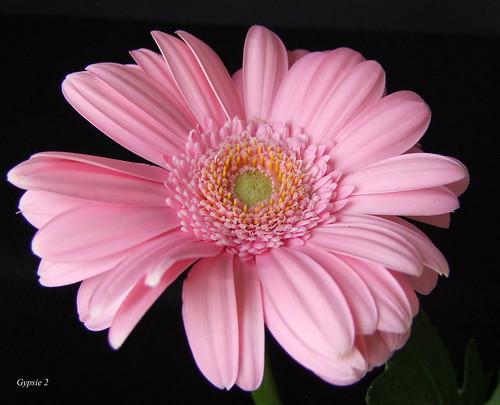 Gerbera's Pinkaliciousness! by gypsie2 ~
