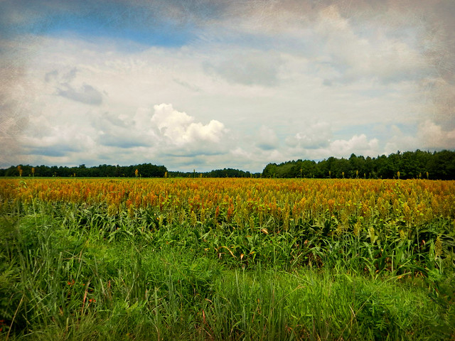Sorghum In North Carolina http://www.flickr.com/photos/edgecombeplanter/7854586438/
