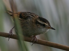 Wrenlike rushbird - Birding with Nature Expeditions in Peru