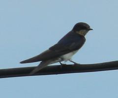 animal, wing, fauna, swallow, beak, bird,