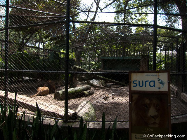 Adult male lion enclosure