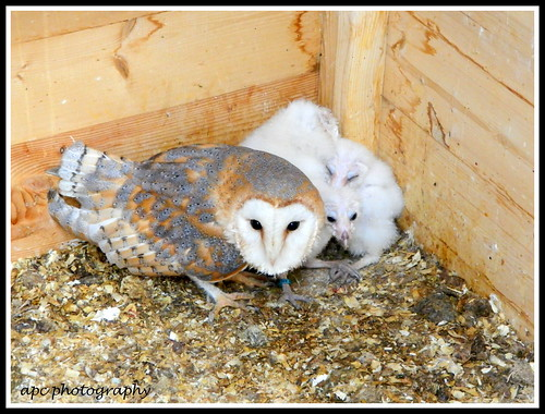 barn owl and young