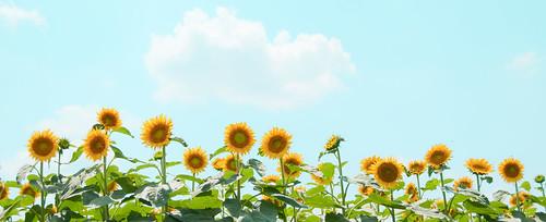 [フリー画像素材] 花・植物, 向日葵・ヒマワリ ID:201208310600