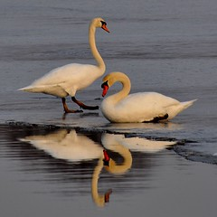 Mute Swans sitting on Ice.........