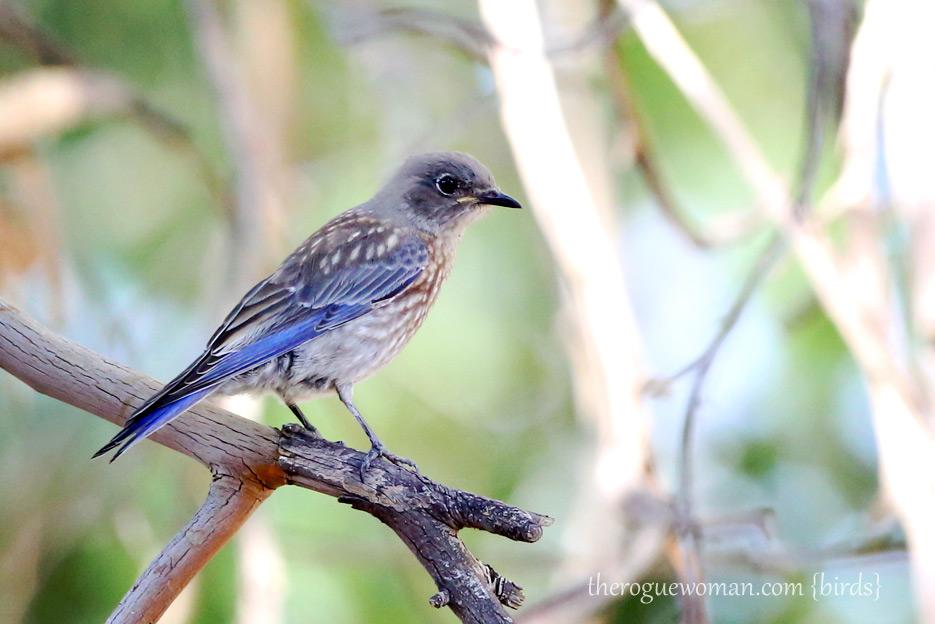 081312_05_zbird_mountBluebird02