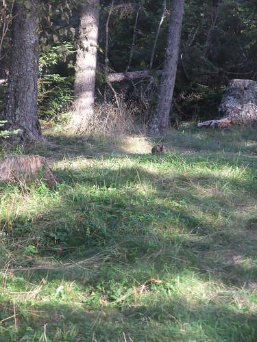 rabbit Deer Island
