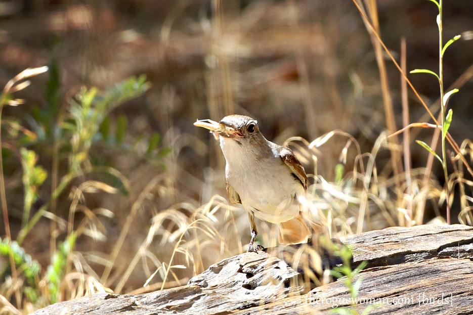 081412_03_bird_flycatcher02