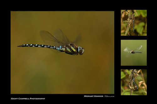 Migrant Hawker (Aesha mixta) Explored