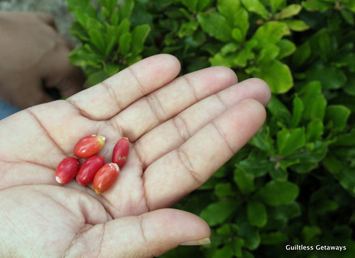 magic-miracle-fruit-seeds-small-red-berries-philippines.jpg