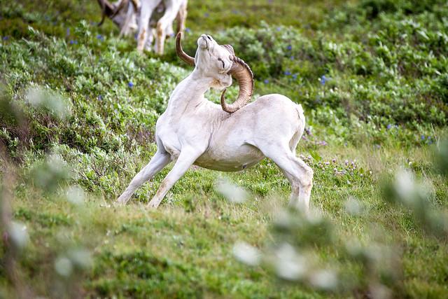 Muflón de Dall (Ovis dalli) en el Parque nacional y reserva Denali. Alaska.