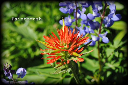 Paintbrush at Paradise Park - Mt. Hood