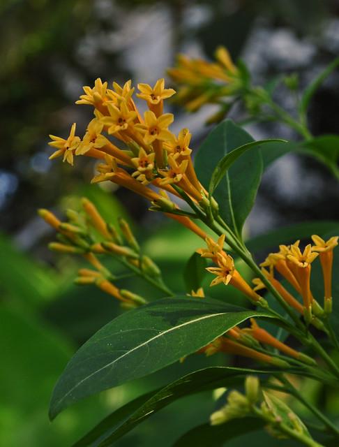 Cestrum aurantiaum 'Orange Zest'