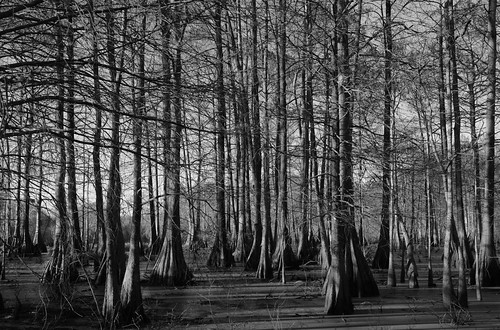 trees bw louisiana cypress marsh lakemartin